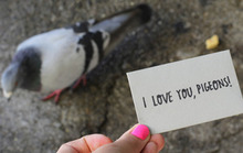 I Love You, Pigeons!
