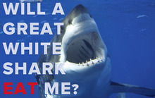 Will a Great White Shark Eat Me?
