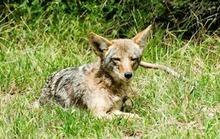 Those Cute Coyote Pups of GG Park (PHOTOS)